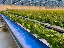 cultivo de alfaces